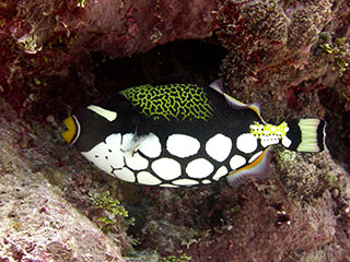 Clown triggerfish in coral reef habitat off the coast of CNMI