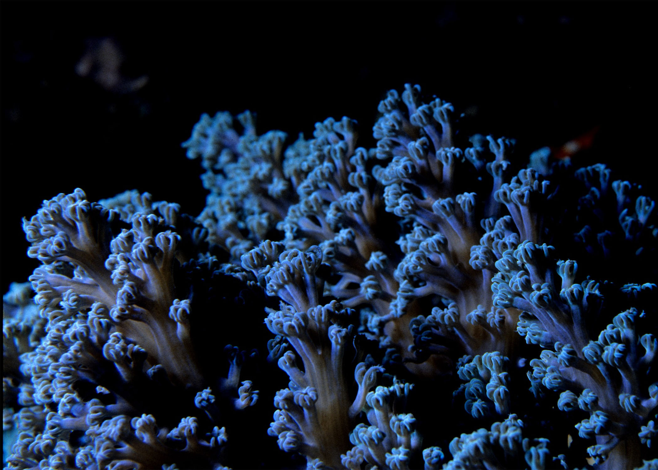 One Tree Reef. Cespitularia sp soft coral.