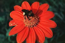 Bumblebee on Tithonia rotundiflora. Photo by Jerome Ward.