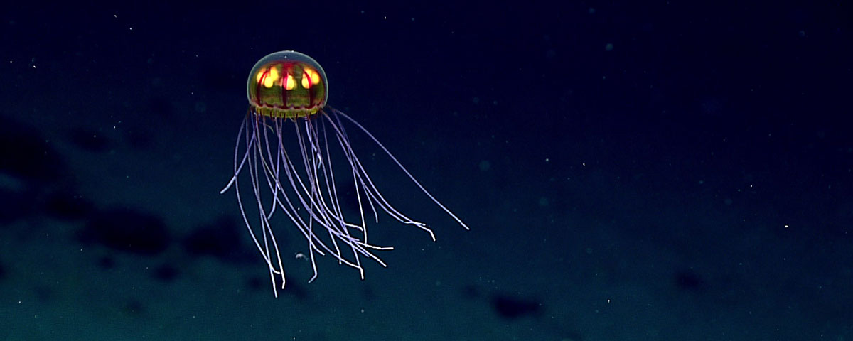 Photo of a jelly fish in the deep ocean near Enigma Seamount