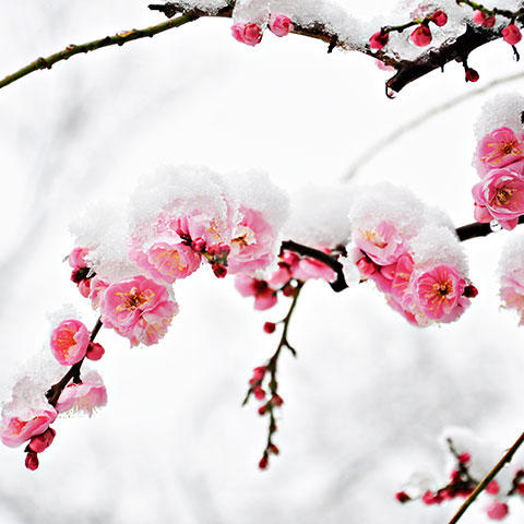 Photo of a cherry blossom covered in snow