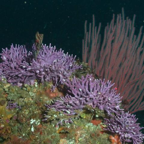 Picture of Stylaster Californicus Coral by NOAA SWFSC