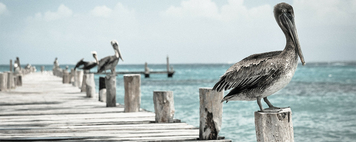 Picture of Pelicans
