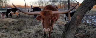 Picture of Texas Longhorn