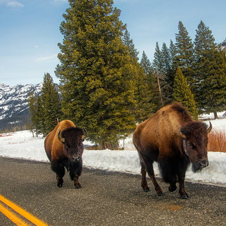 Picture of bison at Yellowstone