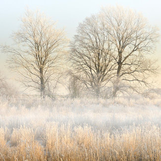 Picture of trees in a fog-filled field