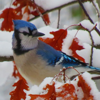 Picture of a blue jay in the snow