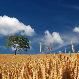 Picture of cereals field in the sun