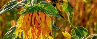 Picture of wilting sunflower