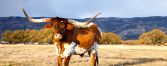 Picture of a Longhorn