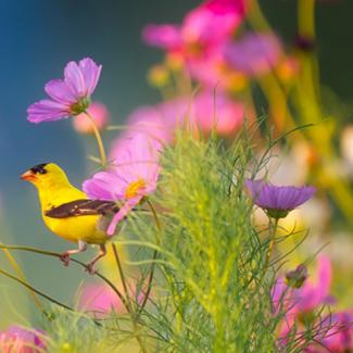 Picture of yellow bird among flowers