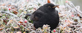 Picture of a blackbird in winter