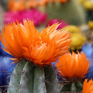 Picture of cactus blooming