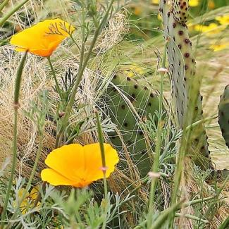 Picture of California Gold Poppies