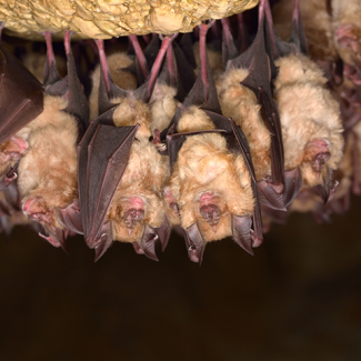 Photo of a group of bats sleeping in a cave, ©Cucu Remus / iStock / Getty Images Plus