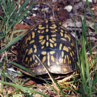 Photo of box turtle in grass
