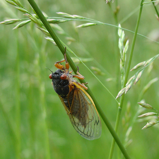 Photo of adult cicada on blade of grass