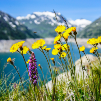 Photo of yellow wildflowers in front of lake and mountains