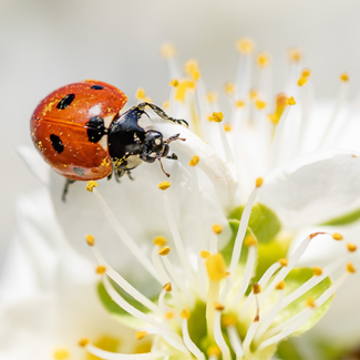 Picture of a ladybug on a flower