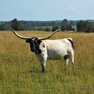 Picture of a Longhorn standing in a field in Arkansas