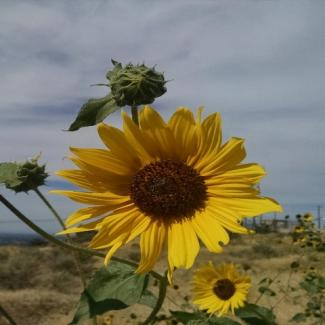 Photo of blooming sunflower with cloudy sky in background