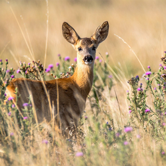 Picture of a deer in a field