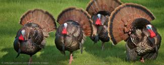 Banner photo of turkeys by Photo of turkeys by ©JeffEngeloutdoors.com, iStock, Getty Images Plus