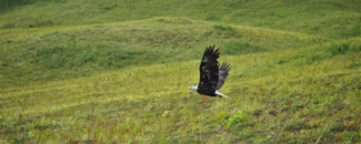 Photo of bald eagle flying low over a grassy hill