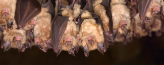 Photo of a group of bats sleeping in a cave