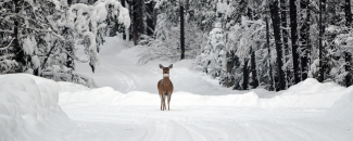 Photo of a deer in the snow at Glacier National Park in Montana