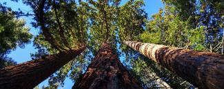 Photo of a giant sequoia grove