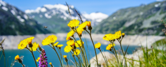 Photo of daisies in front of blue lake and snow-capped mountains