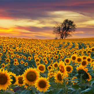 Picture of sunflowers in Kansas
