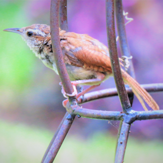 Picture of a wren in a cage