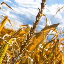 Photo of crops in drought conditions