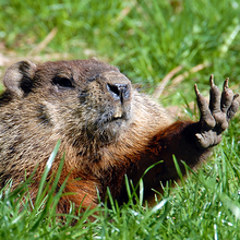 Photo of a groundhog ©iStock mirecca
