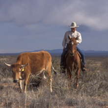 Image of cowboy on horse near cattle.