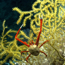 Image of coral lobster from Okeanos Explorer dive in Gulf of Mexico 2018 by NOAA.