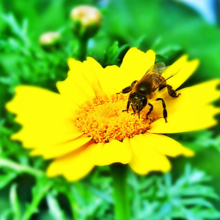 Image of bee on daisy by PublicDomainPictures.net