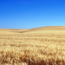 Photo of a grain field in Kansas