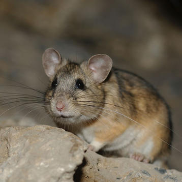 Photo of a pack rat courtesy of the National Park Service