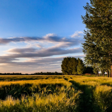 Picture of U.S. wheatfield