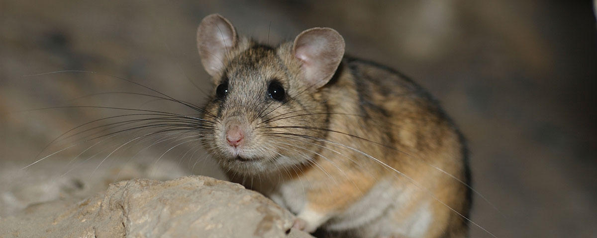 Photo of a pack rat